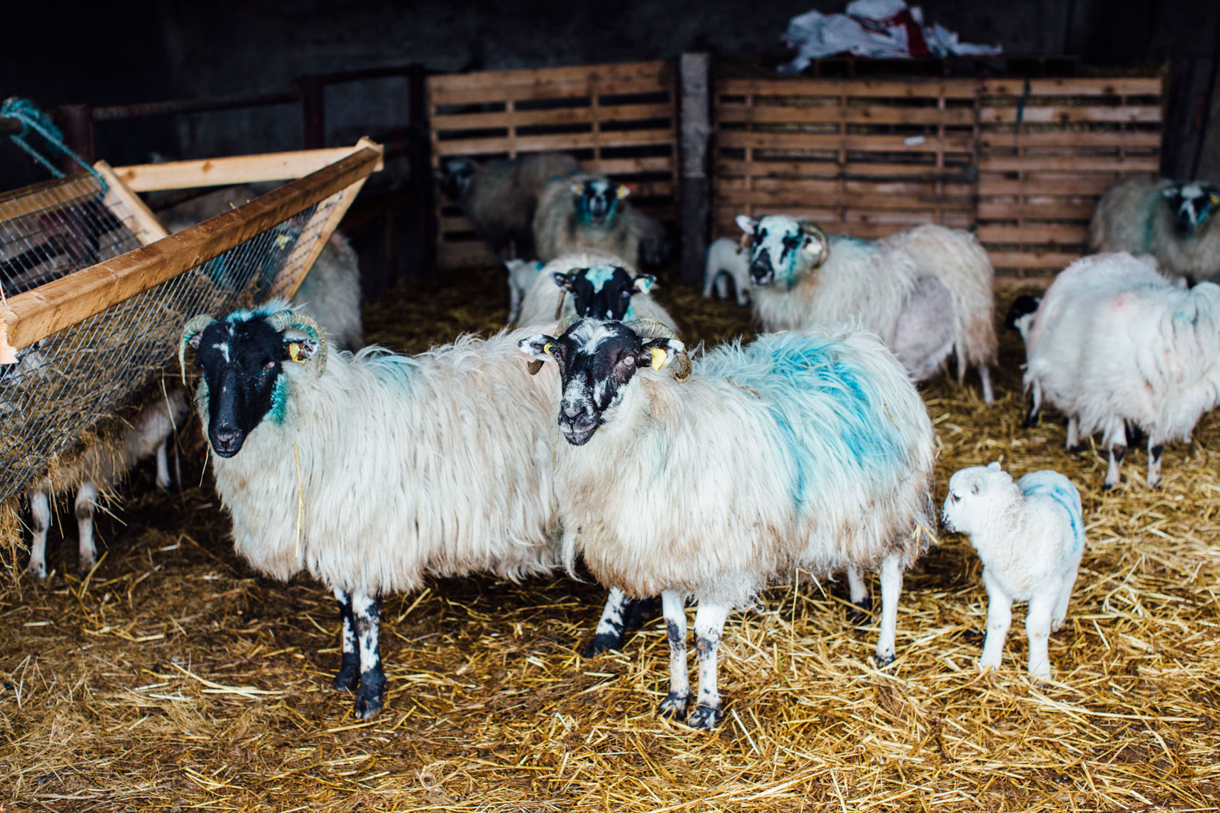scottish blackface sheep and lamb  gather  for feeding