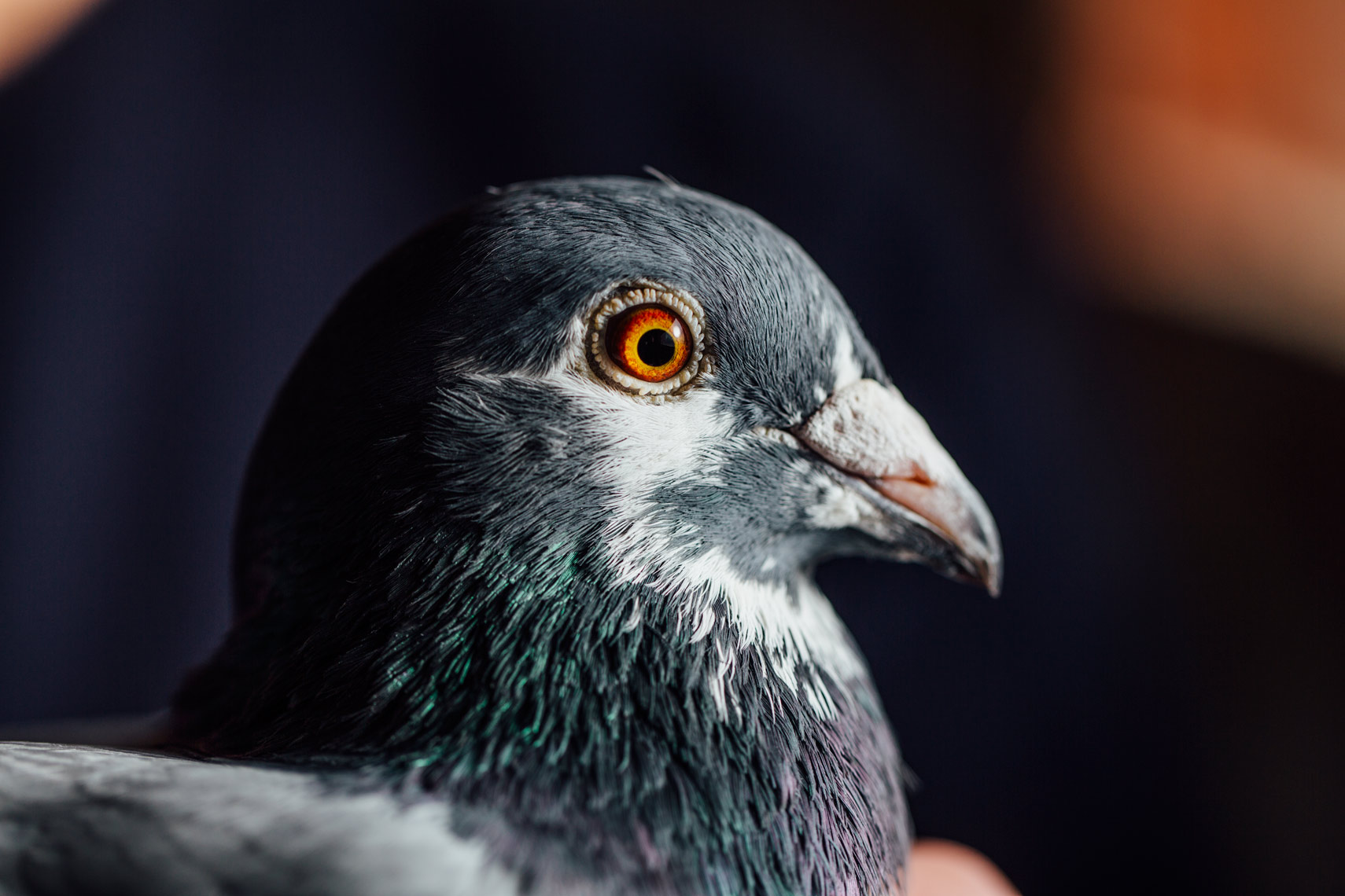 story photography: the types of pigeons