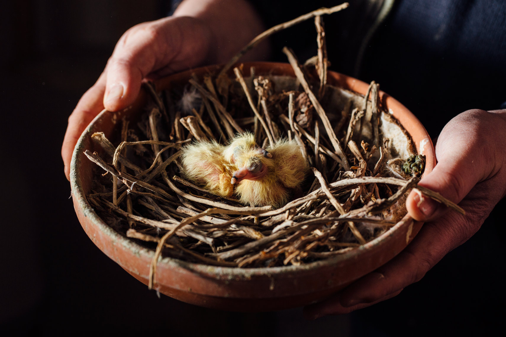 story photography: a nest with pigeon