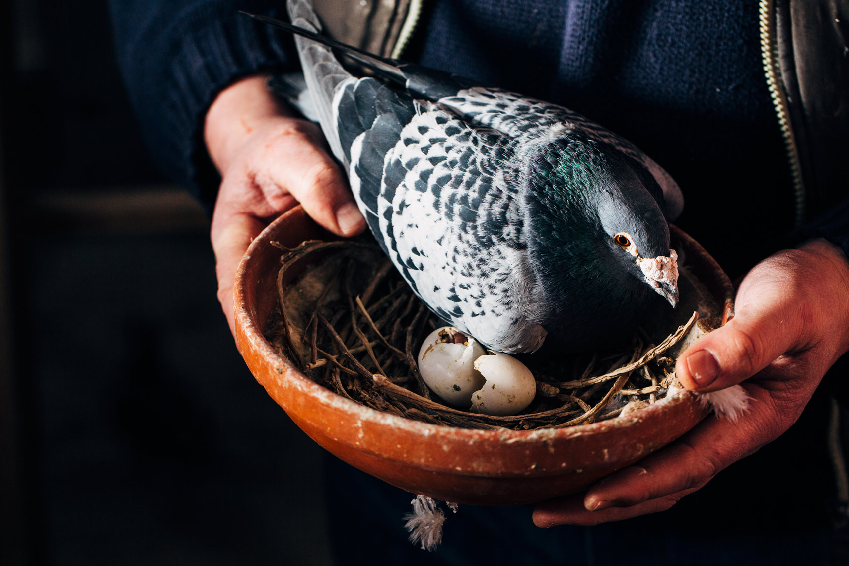 story photography: breeding pigeons in ireland