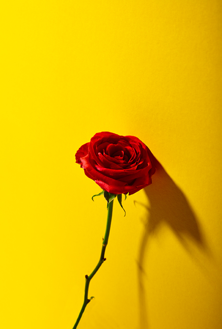 creative still life photography: a single red rose