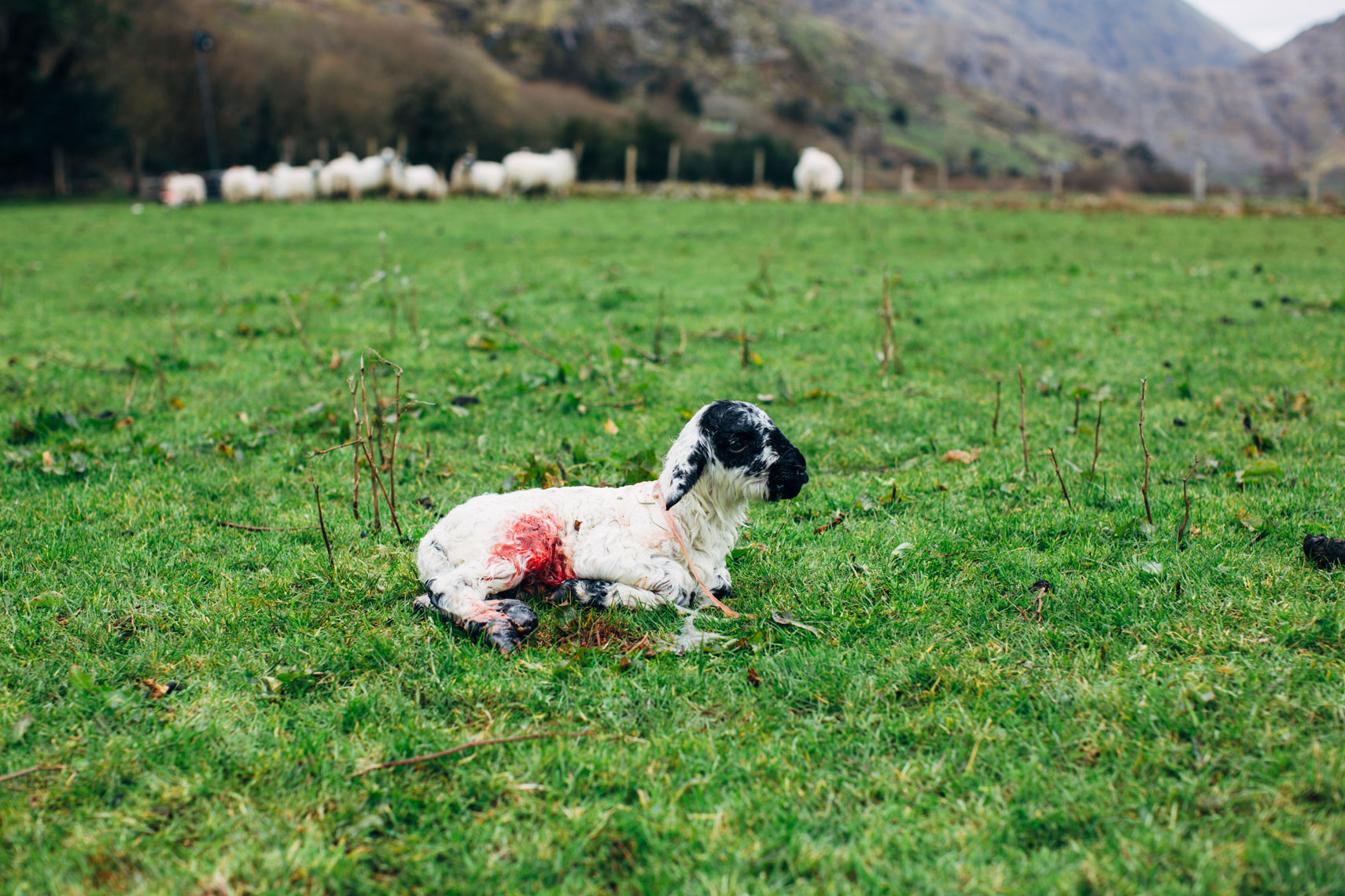 newborn lamb in field